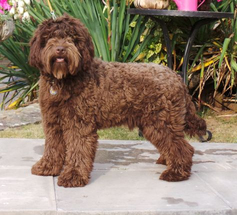Chocolate Labradoodle Chocolate Labradoodle Labradoodle Dogs