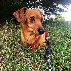 Available Pets At Kentucky Dachshund Rescue In Georgetown
