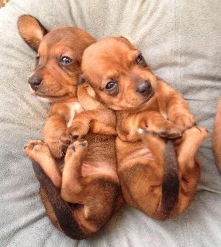 Pair Of Cute Tan Mini Dachshund Puppies Akc Miniature