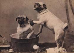 Richardson Brothers Took This Historical Pug Photograph In 1901