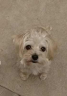 Fort Wayne In Maltese Meet Jackson A Pet For Adoption Pet Adoption Pets Help Homeless Pets