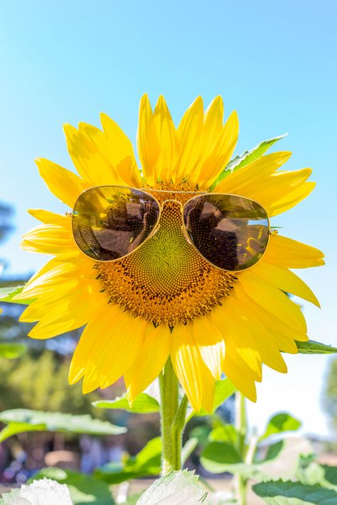 Sunflower with sunglasses Premium Photo