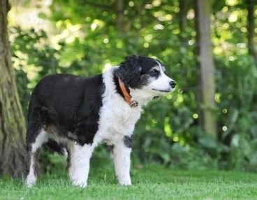 Millie 13 Year Old Female Border Collie Cross Cavalier King