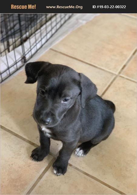 Adopt 19032200322 Lab Rescue Orange Ca Lab Mix Puppies Lab