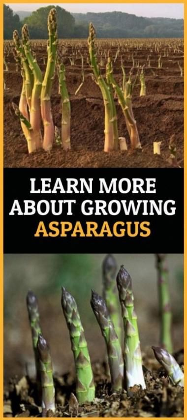 Learn More About Growing Asparagus In 2020 Growing Asparagus Asparagus Growing