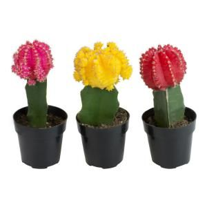 Altman Plants 3 5 In Assorted Crested Cactus 3 Pack 0881026 The Home Depot Grafted Cactus Cactus Flower Plant Crafts