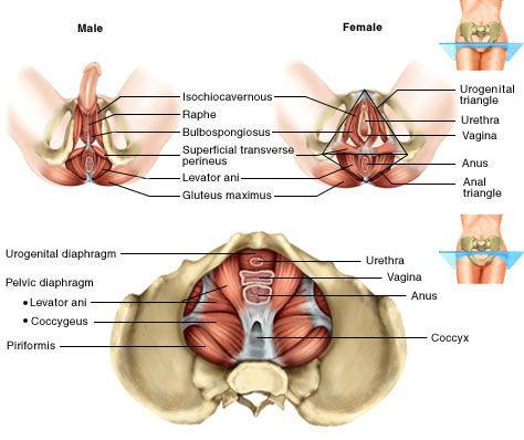Male And Female Pelvic Floor Anatomy Assoalho Pelvico Fisioterapia Anatomia Feminina