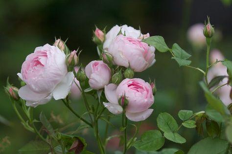 Rose Sceptered Isle