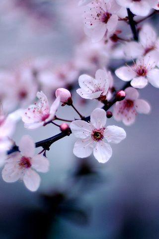 Cherry Blossom Iphone Wallpaper Springflowerswallpaperiphone Papel De Parede Para Telefone Rosa Flor De Cerejeira Simone De Beauvoir