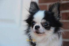 Fotos Chihuahuas Adu Yorkieadult Chihuahua Dogs Chihuahua