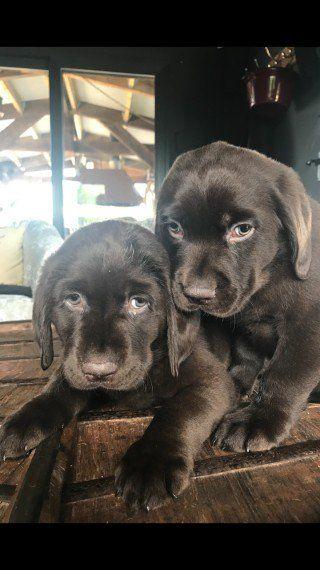 Brown Newfador Puppies Newfoundland X Labrador Labrador
