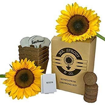 Mr Sprout Organic Sunflower Starter Kit Plant Growing Kit For Kids Adults Or Gift Idea Flower Seed Starte Seed Starter Kit Planting For Kids Seed Starter