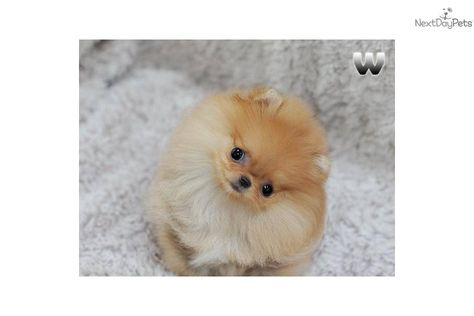 Pomeranian Puppy For Sale One In A Million Teacup Orange Pom Toto