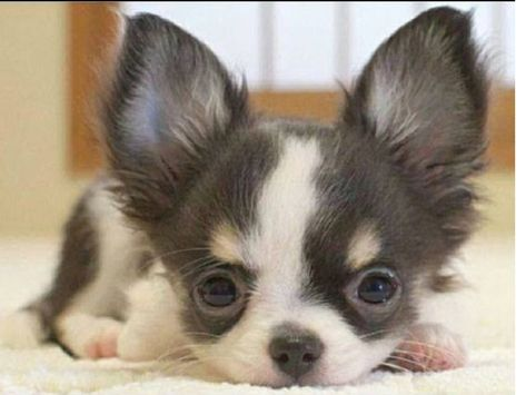 Pin By Paula Hecht On Petey Friends Baby Chihuahua Chihuahua