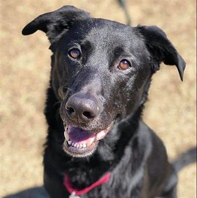 Dallas Tx Labrador Retriever Meet Jackson A Pet For Adoption Labrador Retriever Labrador Pet Adoption