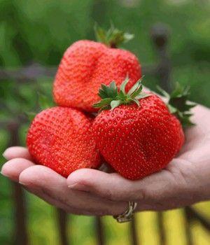 Erdbeere Sweet Mary Xxl 1a Qualitat Kaufen Baldur Garten Erdbeeren Pflanzen Erdbeerpflanzen Erdbeeren
