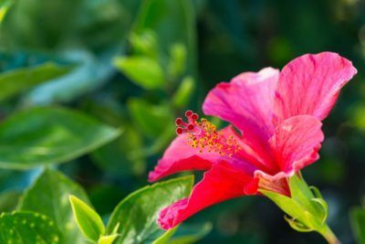 Hibiscus Growing In Zone 9 Choosing Hibiscus Plants For Zone 9 Gardens Hibiscus Tree Growing Hibiscus Hibiscus Plant