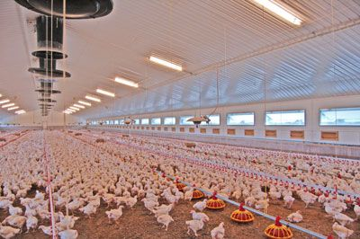 Commercial Chicken House commercial poultry house pictures | poultry house construction