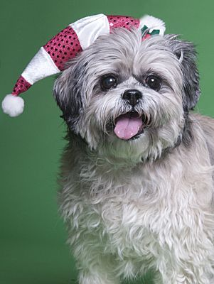 Chicago Il Shih Tzu Meet Baby A Pet For Adoption Shih Tzu