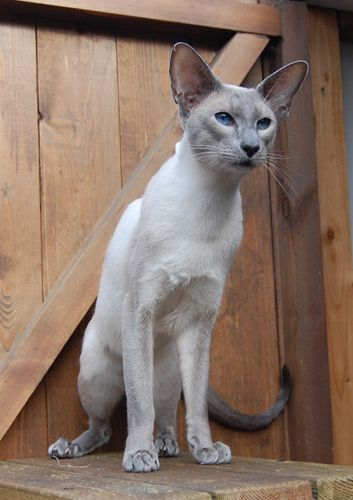 Siamese Cats The Blue Point Siamese Cats Is A Very Intelligent