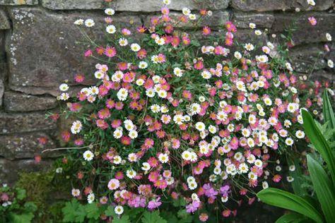 Mexican fleabane Erigeron karvinskianus:Position: full sun Soil: fertile, well-drained soil Rate of Growth: average Flowering period: June to October Hardiness: fully hardy