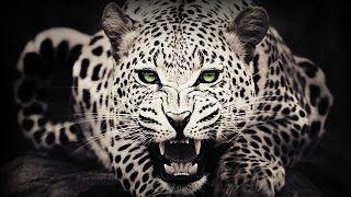Hd Wallpapers أحدث صور خلفيات جميلة جدا للكمبيوتر Cheetah Wallpaper Wild Animal Wallpaper Leopard Wallpaper