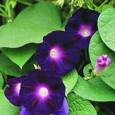 Ipomoea Purpurea Grandpa Ott S From Plantlust Com Garden Vines Spring Plants Flowering Vines