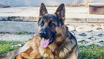 German Shepherd Price How Much Is This Popular Breed Easiest