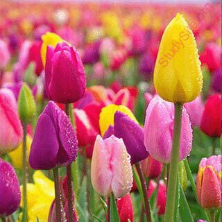 Perfect Tulip Flower Meaning In Telugu And Review In 2020 Tulips Flowers Flowers Amazing Flowers