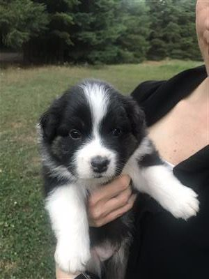 Australian Shepherd Puppies Puppies And Dogs For Sale Pets Classified Ad Oregonlive Com Australian Shepherd Puppies Shepherd Puppies Dogs For Sale