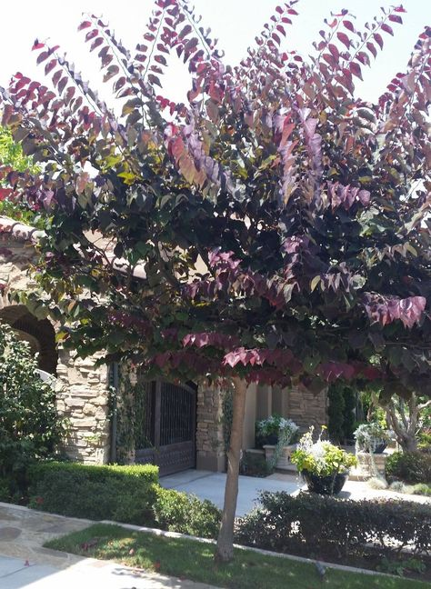 Cercis canadensis 'Forest Pansy' PP