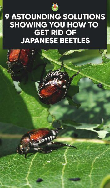 9 Effective Solutions On How To Get Rid Of Japanese Beetles Japanese Beetles Japanese Beetles Repellant Garden Pests