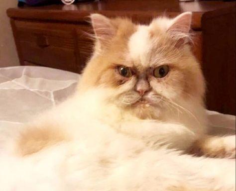 Meet Kitzia: The New Grumpy Cat That Looks Pretty Darn Angry