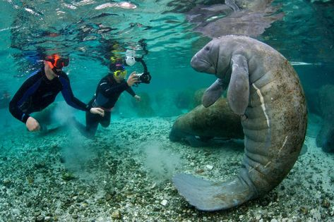 travel united states Theres Only One Place in the United States Where Its Legal to Swim With Wild Manatees Places In Florida, Vacation Places, Vacation Destinations, Dream Vacations, Vacation Spots, Places To Travel, Florida Travel, Travel Usa, Destin Florida