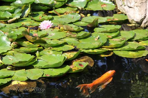 Koi Pond at Potawatomi Zoo in South Bend, Indiana USA 2015