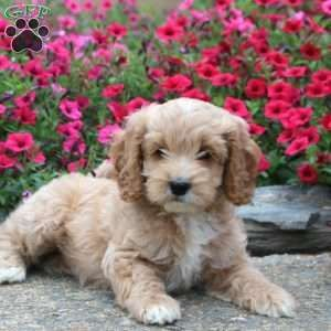 Cockapoo Puppies For Sale These Lovable Playful And Family Raised Cockapoo Puppies Are A Mixed Dog B In 2020 Cockapoo Puppies For Sale Cockapoo Puppies Cockapoo Dog