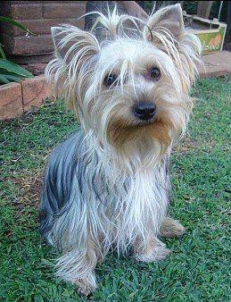 Chivaza Yorkies Random Viho Yorkie Puppy Yorkie Breeders Yorkie