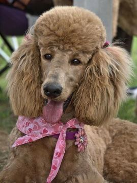 Poodles Smart Active And Proud