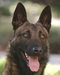 This Is Such A Beautiful Protective Dog My Wife Is A Police Officer And Wants To Get Onto The K 9 Unit This Gorgeous Do Dogs Protective Dogs Malinois Puppies