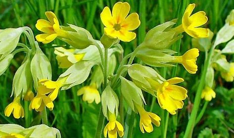 Cowslip Uses In Herbal Medicine Healing Herbs Herbalism Medicinal Plants