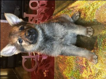 Litter Of 7 German Shepherd Dog Puppies For Sale In Canton Tx