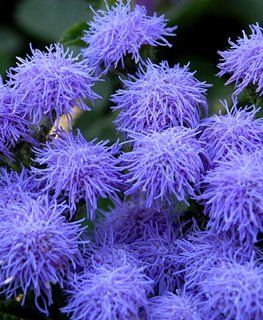 Ageratum How To Grow And Care For Floss Flower Garden Design In 2020 Flower Garden Design Flower Garden Garden Design