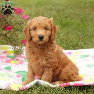 Mini Goldendoodle Puppy In Quarryville Pa Mini Goldendoodle Puppies Mini Goldendoodle Goldendoodle