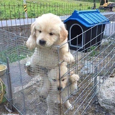 Petslady S Pick Funny Great Puppy Escape Of The Day Labrador Retriever Puppies Puppies Cute Puppies