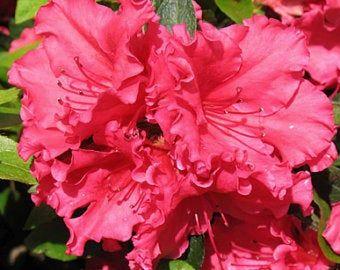 Azalea Formosa Live Plant 4 Inch Pot Evergreen Fuchsia Flower