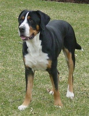 A Tricolor Black Tan And White Greater Swiss Mountain Dog Is