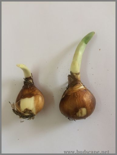 Identify Flower Bulbs Gardening For Beginners In 2020 Bulb Flowers Flower Bulbs Garden Garden Bulbs