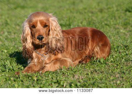 Cocker In Grass Poster Popular Dog Breeds Cocker Spaniel Dog