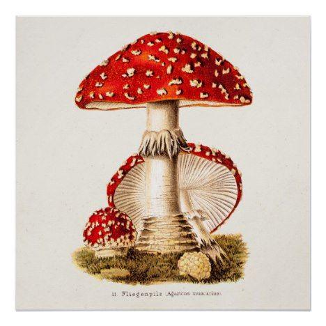 Vintage 1800s Mushroom Red Mushrooms Template Poster Zazzle Com Vintage Mushroom Illustration Mushroom Drawing Stuffed Mushrooms