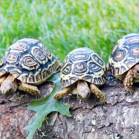 Giant South African Leopard Tortoise For Sale Online Leopard Tortoise African Leopard Tortoise